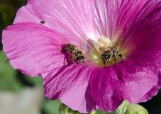 Dwa pszczoły w petuni zdjęcia stock