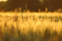 Dwa pszenicznej głowy dosięga out w uprawy polu zdjęcie stock