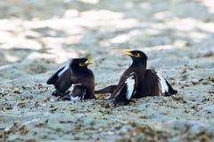 Dwa ptaków bawić się Obraz Royalty Free