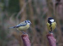 Dwa ptaków tit na gałąź Obraz Royalty Free