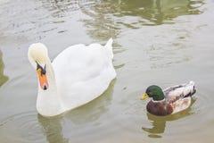 Dwa ptaka, białego łabędź i kaczka, pływają w stawie w zoo, fotografia royalty free