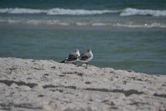 Dwa ptaka blisko linii brzegowej na plaży Fotografia Royalty Free