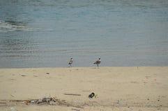 Dwa ptaka na plaży Zdjęcie Royalty Free