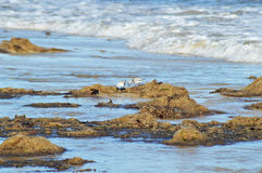 Dwa ptaka w kilwaterze na plaży Zdjęcia Royalty Free