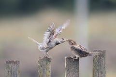 Dwa ptasiego wróbla na starym drewnianym ogrodzeniu Fotografia Royalty Free