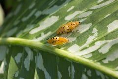Dwa pupa Zwierzęcego na zielonym liścia drzewie Zdjęcie Stock