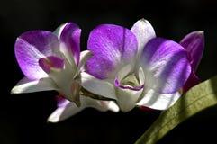 Dwa purpur i bielu orchidei Przeciw Ciemnemu tłu Obraz Royalty Free