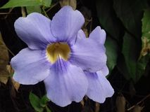 Dwa purpury thunbergia grandiflora kwiatu w świetle słonecznym Zdjęcia Royalty Free
