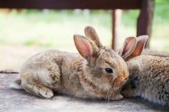 Dwa puszystego brown królika, zakończenie, płytka głębia pole, selekcyjna ostrość Wielkanocnego królika pojęcie Fotografia Royalty Free