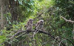 Dwa puszystego owlets (dziecko sowy) Fotografia Stock