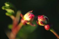 Dwa róża pączka są bardzo słodcy each inny zdjęcie royalty free