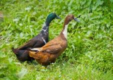 Dwa różnej rodzaj kaczki na łące Obrazy Stock