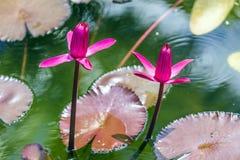 Dwa różowego kwitnącego lotosu zdjęcia royalty free