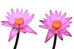 Dwa różowego lotosu jest pięknym kwiatem na bielu odizolowywa tło Fotografia Stock