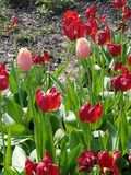 Dwa Różowego tulipanu fotografia royalty free