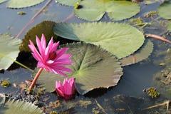 Dwa różowy, lotosowi kwiaty w stawie, jeden nad wodą lub jedna druga zlew waterlily, Zdjęcia Stock