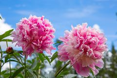 Dwa różowa peonia na niebieskiego nieba tle Zdjęcia Stock