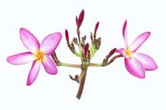 Dwa różowy frangipani Obrazy Royalty Free
