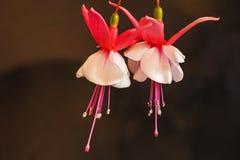 Dwa różowy i biali fuksja kwiaty 2 Zdjęcia Stock