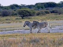 Dwa równiny zebra, Equus kwaga, Botswana Zdjęcia Royalty Free