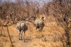 Dwa równiny zebry Działającej w sawannie daleko od, Południowa Afryka, Mapungubwe park Zdjęcia Stock