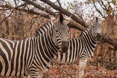 Dwa równiny zebry Stoi w sawannie, Południowa Afryka, Mapungubwe park obraz stock
