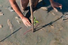 Dwa ręki ochotnicza bierze opieka i zasadzają potomstwa zielony mangr Obrazy Stock