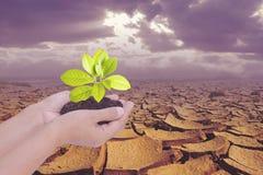Dwa ręki trzyma małego drzewa nad suchą ziemią z krakingową teksturą Zdjęcie Stock