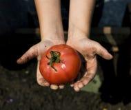 Dwa ręki trzymają pomidoru Obrazy Royalty Free