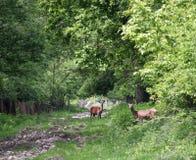 Dwa rogaczy królica w lesie obrazy stock