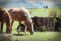 Dwa Rolnego konia Pasa na Zielonej trawie obrazy stock