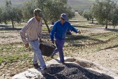 Dwa rolnika rozładowywają oliwki w rozsypisku na podłoga Zdjęcie Royalty Free