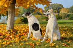 Dwa rosyjskiego wolfhounds Zdjęcia Stock