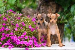 Dwa rosyjskiego zabawkarskiego teriera szczeniaka z kwiatami fotografia royalty free