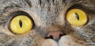 Dwa round powabna żółta skóra ono przygląda się i mały kota nos c obrazy stock