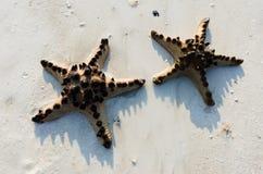 dwa rozgwiazdy Obraz Royalty Free