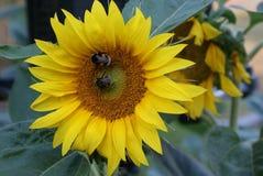 Dwa ruchliwie bumblebees szukali nektar na słoneczniku obrazy royalty free
