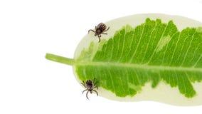 Dwa rycynowej fasoli cwelicha na zielonym liściu pokrywa psi żeński ixodes laboratorium odzyskujących ricinus s cwelichy weteryna obrazy royalty free