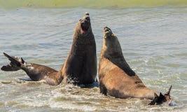 Dwa słoń foki w walce nad kobietą zdjęcie royalty free