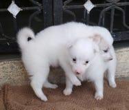 Dwa słodki i śliczny psi piv zdjęcie royalty free