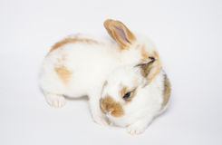 Dwa słodkiego królika Zdjęcia Stock