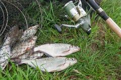 Dwa słodkowodnej ryba oka leszcz i połowu prącie z rolką dalej Fotografia Royalty Free