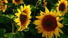 Dwa słonecznika stawia czoło each inny w rolniczym polu zdjęcie wideo