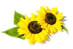 Dwa słonecznika z liśćmi odizolowywającymi na białym tle fotografia royalty free