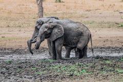 Dwa słonia bierze borowinowego skąpanie Obrazy Royalty Free