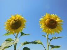 Dwa słonecznika Zdjęcie Stock