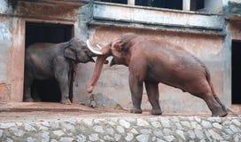 Dwa słoni target705_1_ Fotografia Stock