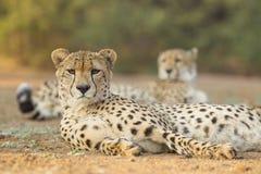 Dwa samiec gepard Południowa Afryka (Acinonyx jubatus) Fotografia Stock