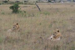 Dwa samiec lwa lying on the beach w suchej trawie odpoczywa w Masai Mara, Kenja obraz royalty free