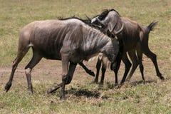 Terytorialny Wildebeest bój na Serengeti fotografia royalty free